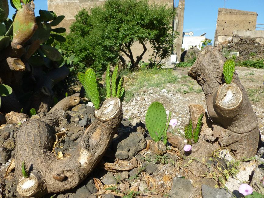 13 Kaktusy