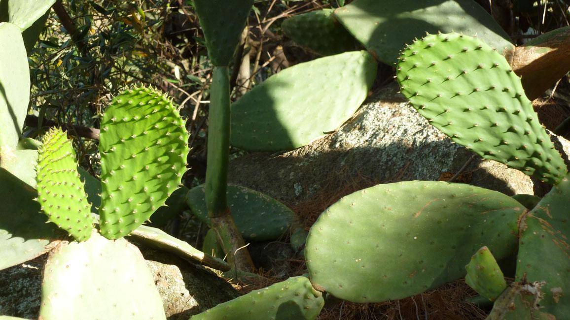 11 Niektore kaktusy kluja