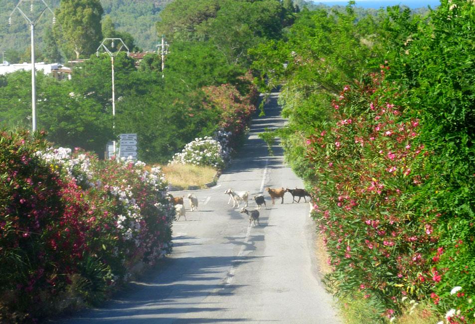 07 Pastuch przeprowadza stado przez ulice