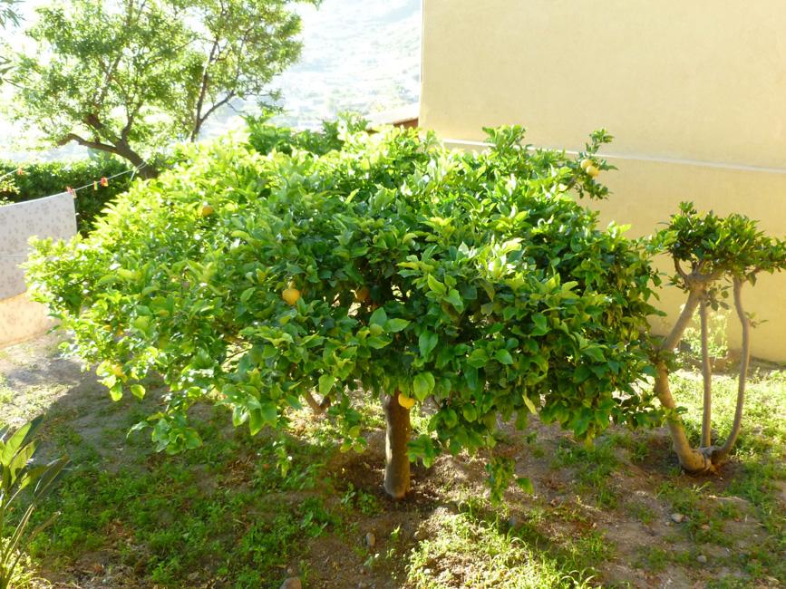 2 Drzewko cytrynowe